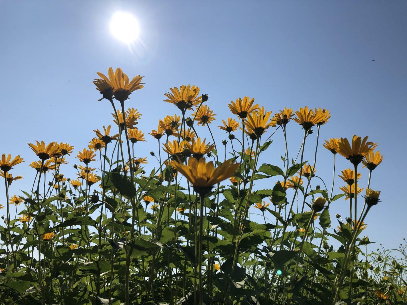 Yellow Daisies in the sun